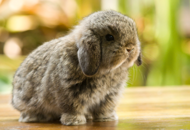 Caring for your rabbit's teeth