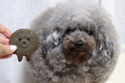 This poodle could be the cutest and roundest dog youve ever seen